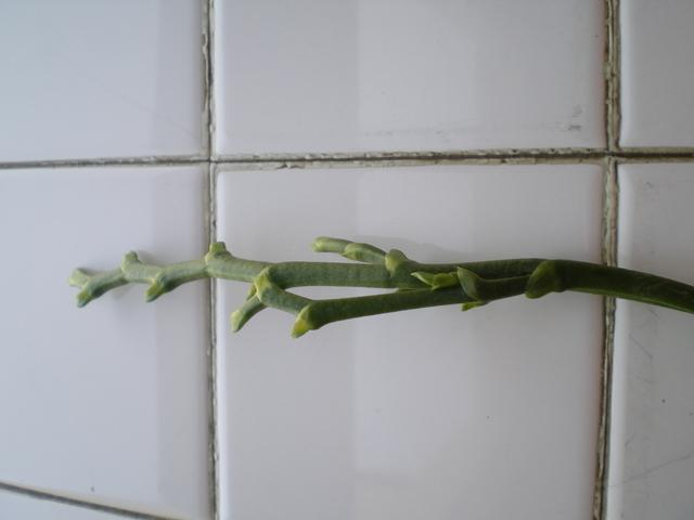 "Phalaenopsis 'Sweet Memory"" : bébés orphelins 18030610335220151715598153"