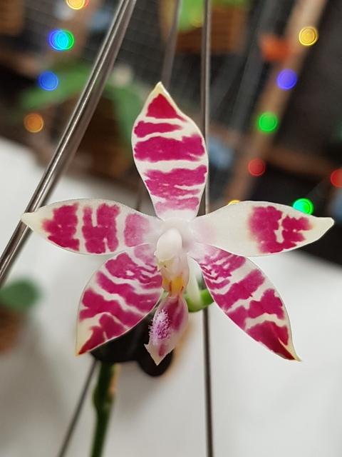 Phalaenopsis amboinensis white x speciosa - Page 2 18030803185817991315602354