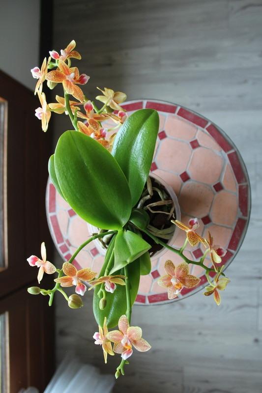 """Phalaenopsis """"Table masterpiece"""" 18040704453923740515655810"""