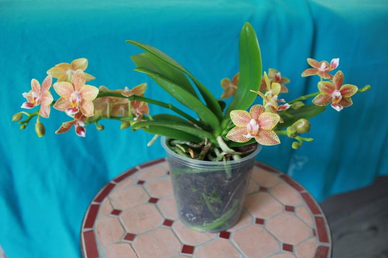 """Phalaenopsis """"Table masterpiece"""" 18040704460223740515655811"""