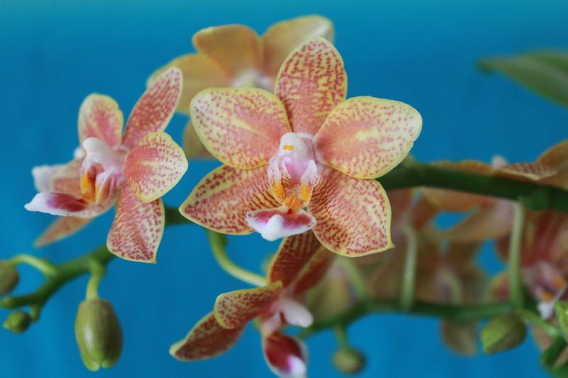 """Phalaenopsis """"Table masterpiece"""" 18040704462723740515655812"""