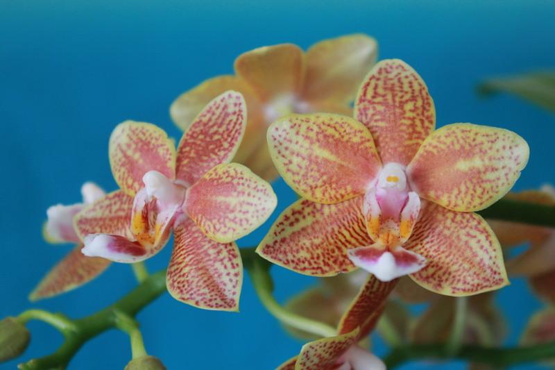 """Phalaenopsis """"Table masterpiece"""" 18040704465523740515655813"""