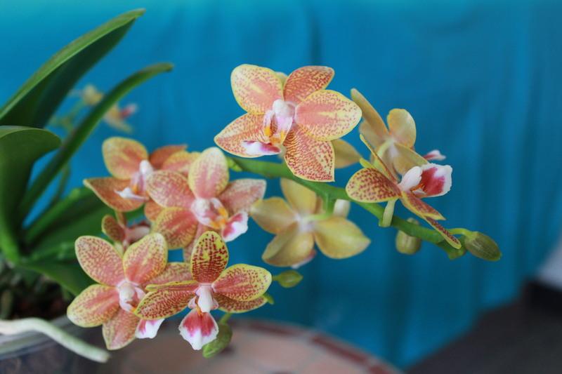"""Phalaenopsis """"Table masterpiece"""" 18040704471923740515655814"""