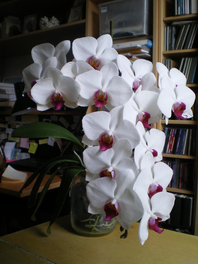 Phalaenopsis Pandorra's Box 18041006211720151715661713