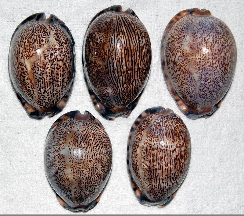 Mauritia arabica asiatica f. empressae - Kessler, 2006 18042805141814587715689449