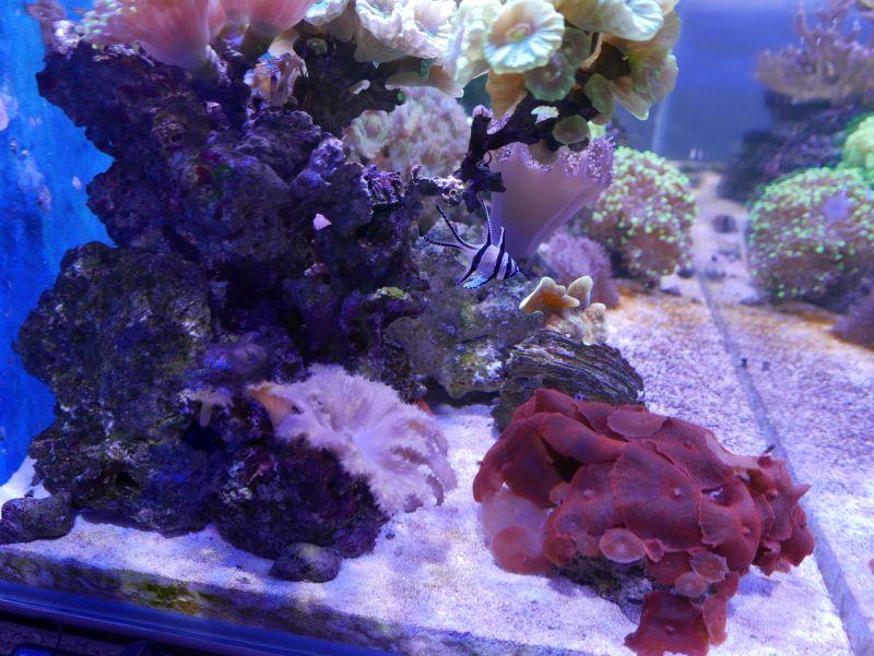 Aquarium 380 L total en système Jaubert déporté + ATS - Page 5 18050105245413025715694784