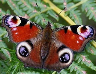 Papillon 18052410015519075515727453