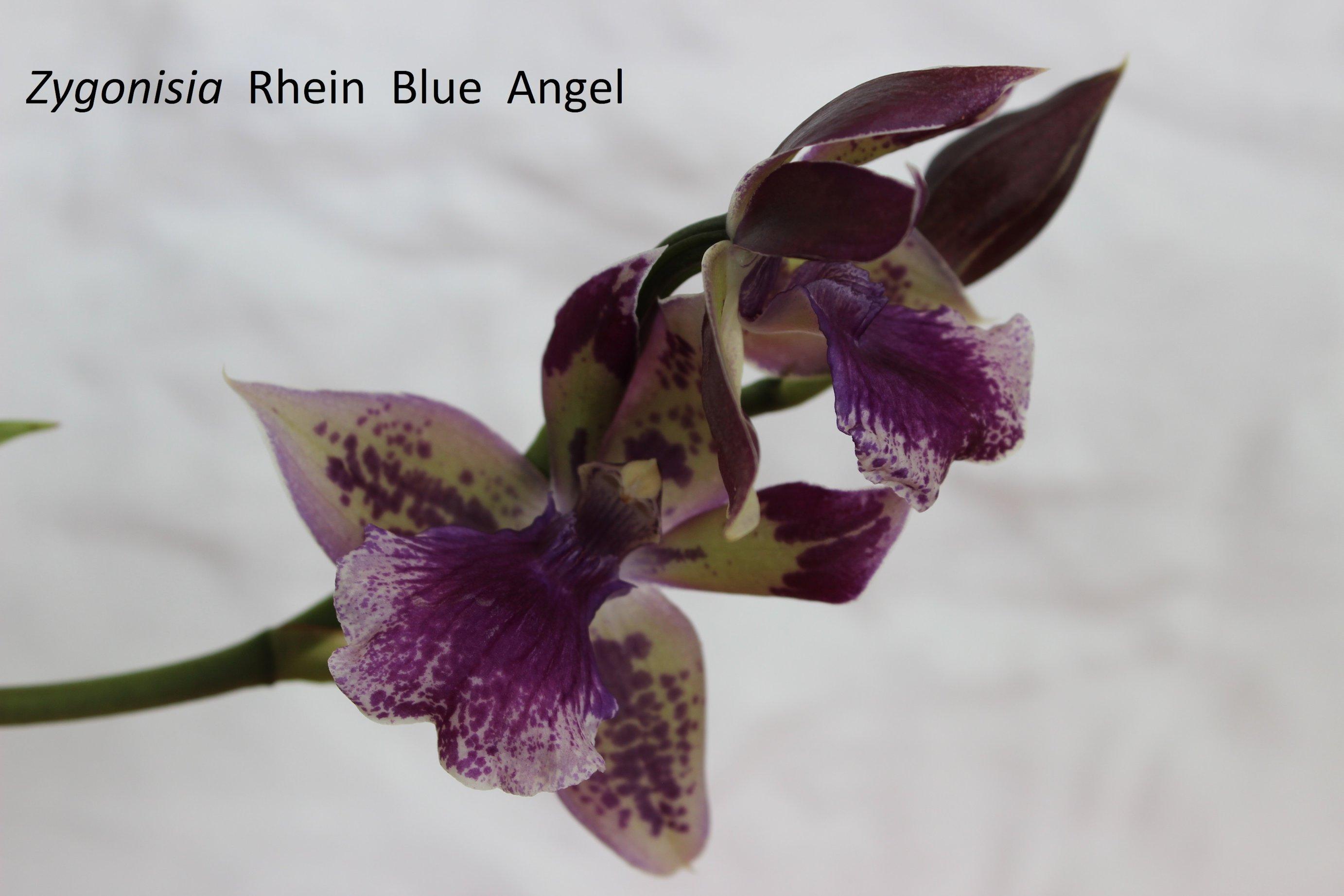 Zygonisia Rhein Blue Angel. 18053111185618944715738653