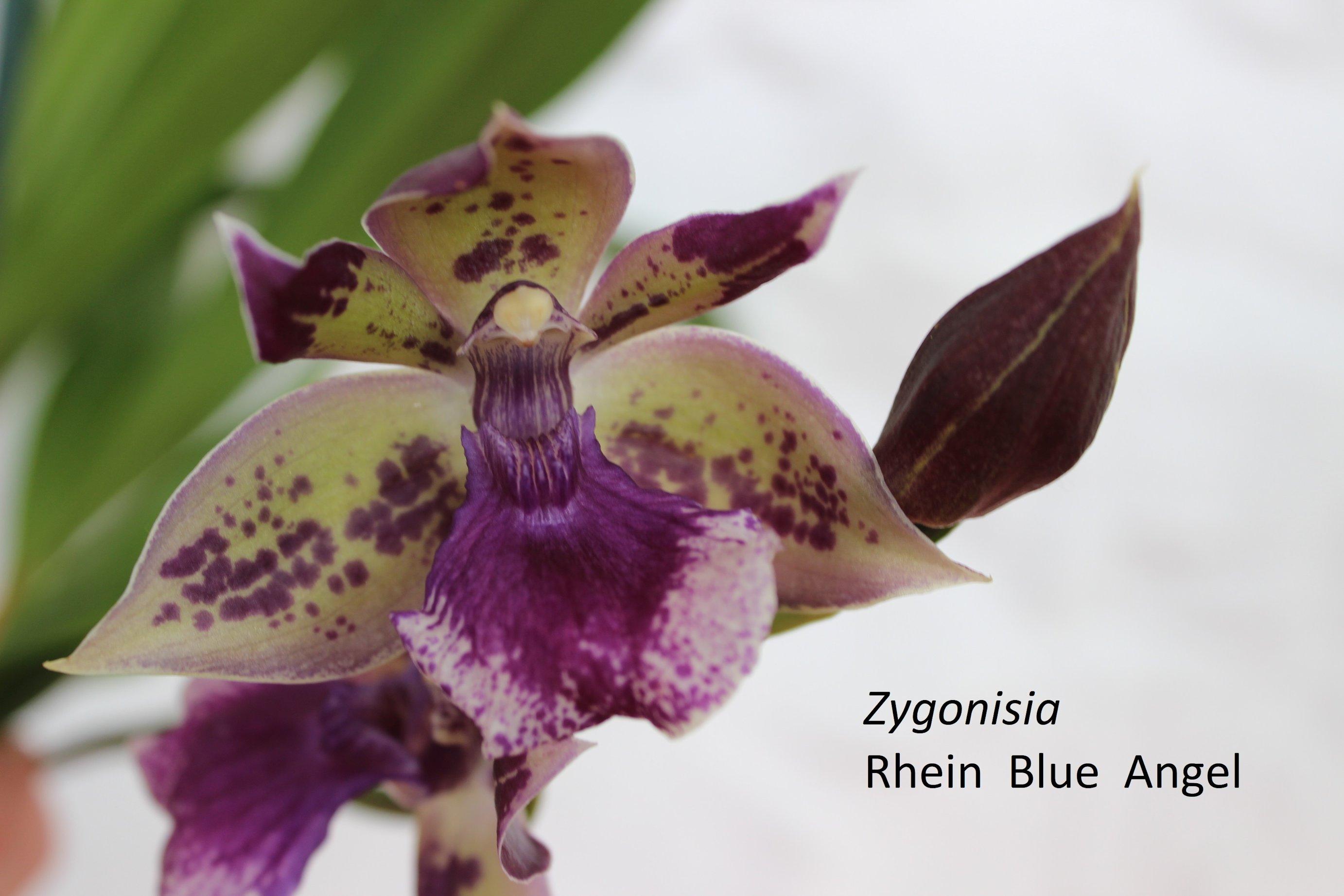 Zygonisia Rhein Blue Angel. 18053111185718944715738654