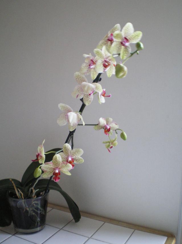 Fleurs Phalaenopsis toutes molles 18061105480420151715758181