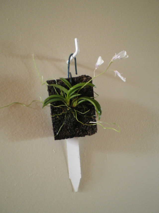 Ionopsis paniculata 18061106073820151715758196