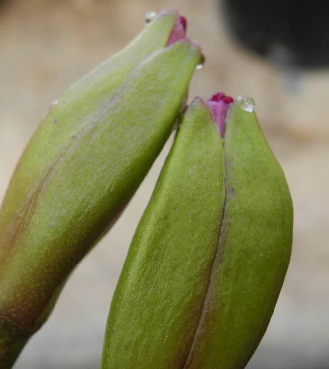 Floraison phalaenopsis 18061308120020151715761113