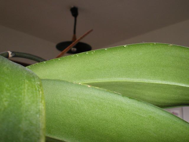 Floraison phalaenopsis 18061308122220151715761114