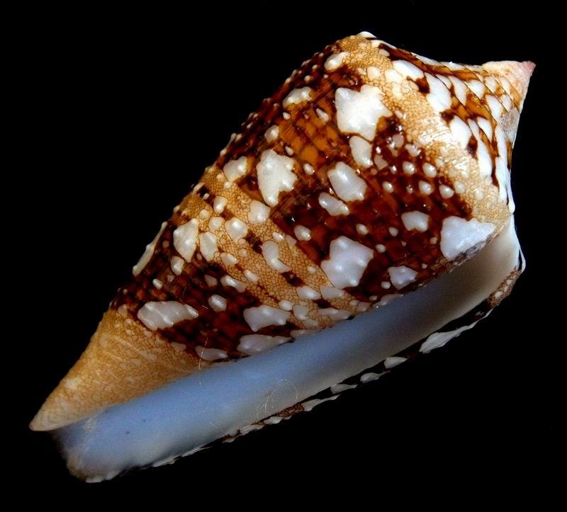 Conus (Cylinder) ammiralis archithalassus Hwass Bruguière 1792 18061510093014587715764146