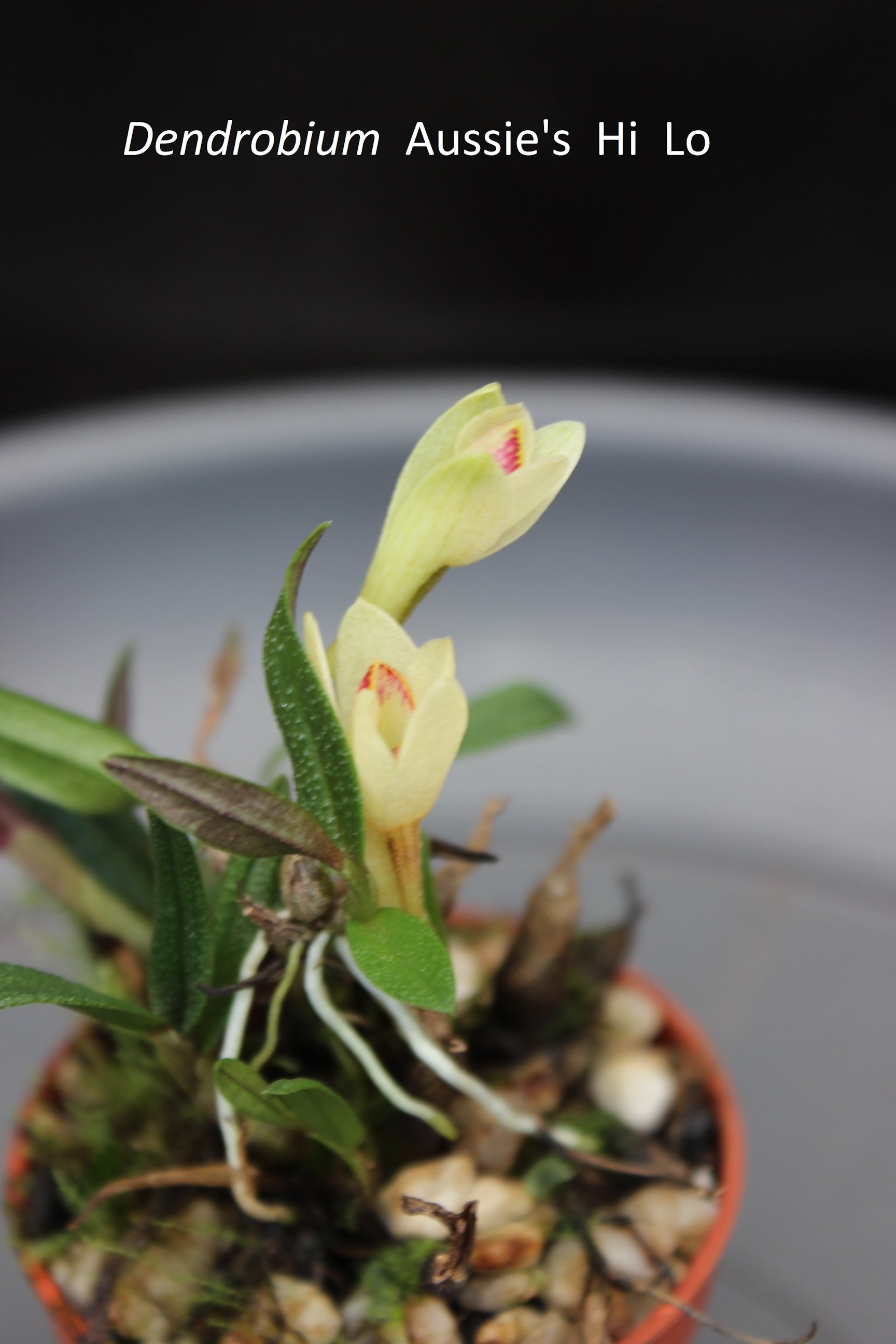 Dendrobium Aussie's Hi Lo 18062305411618944715774695