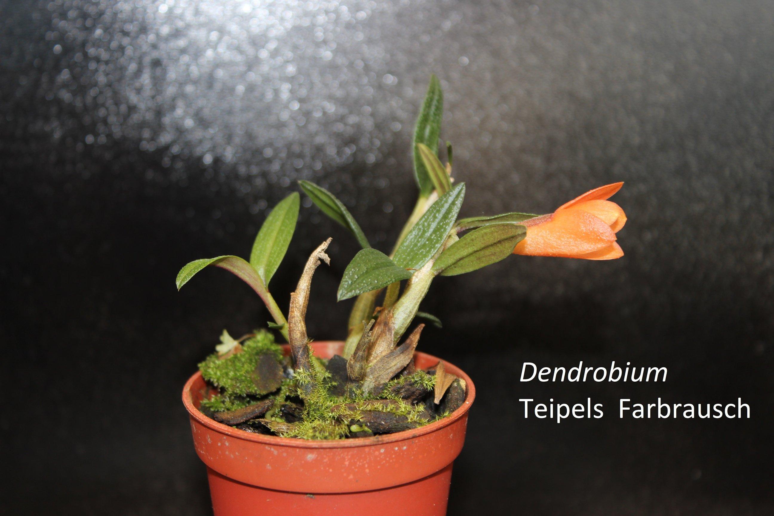 Dendrobium Teipels Farbrausch 18062305411918944715774697