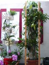 Vanilla planifolia variegata Mini_1806230312199707115774430