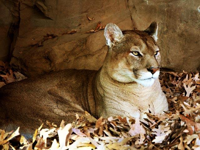 Félins : Le Puma, lion des montagnes 1806260752571858215780283