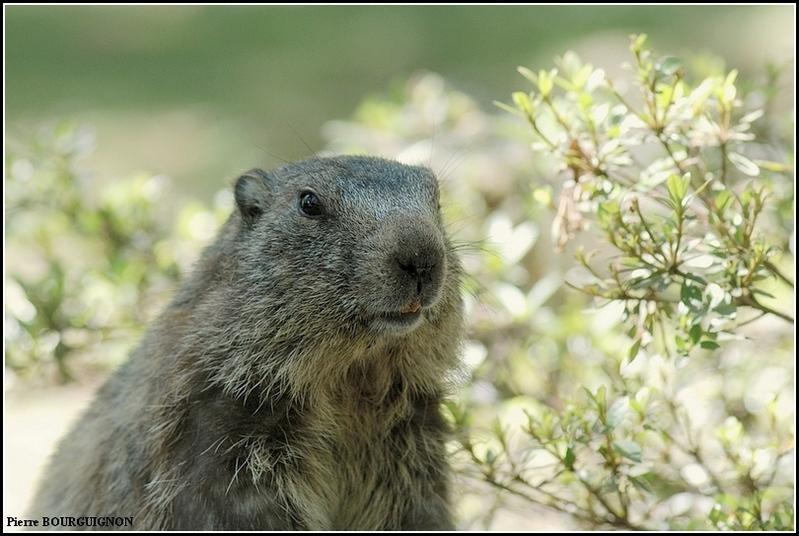 Marmotte (Marmotta marmotta) par Pierre BOURGUIGNON, photographe animalier belge