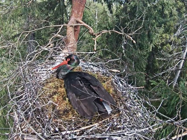 Cigogne noire (Lettonie) 1807080725441858215798442