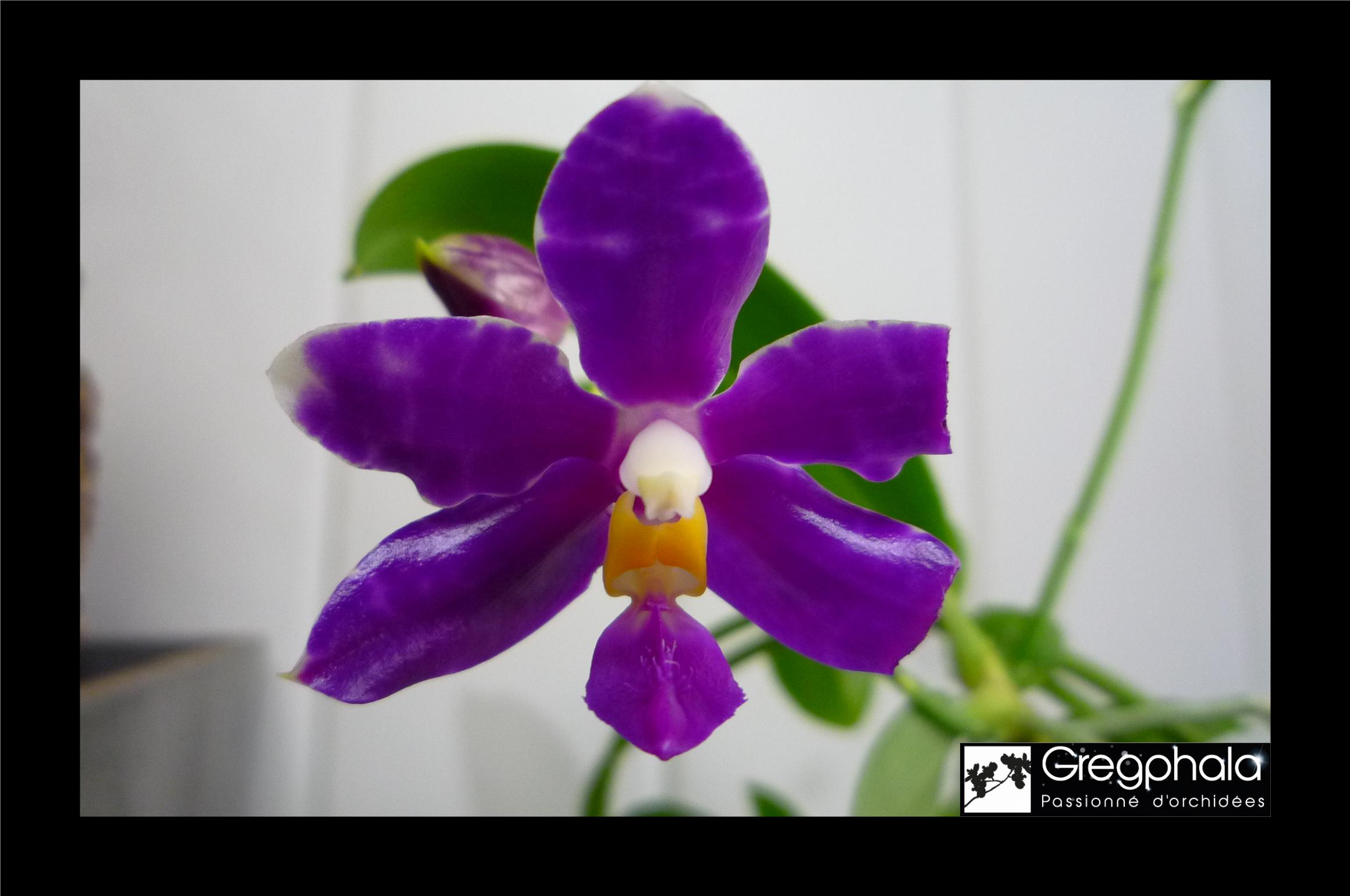 Phalaenopsis Almap (mariae x pulchra red) 18071001325117991315801461