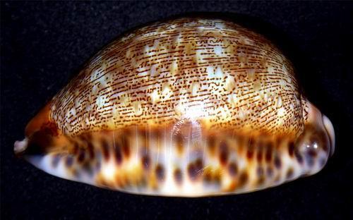 Mauritia arabica asiatica f. empressae - Kessler, 2006 18071501234714587715807978