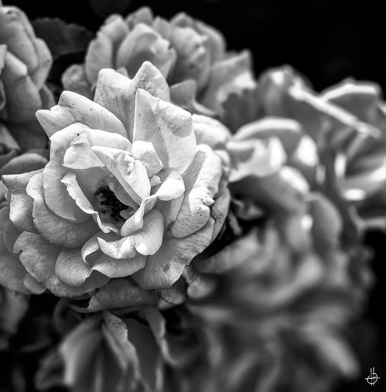 Je sais je vous enchose avec mes roses 18080505105623607915835864