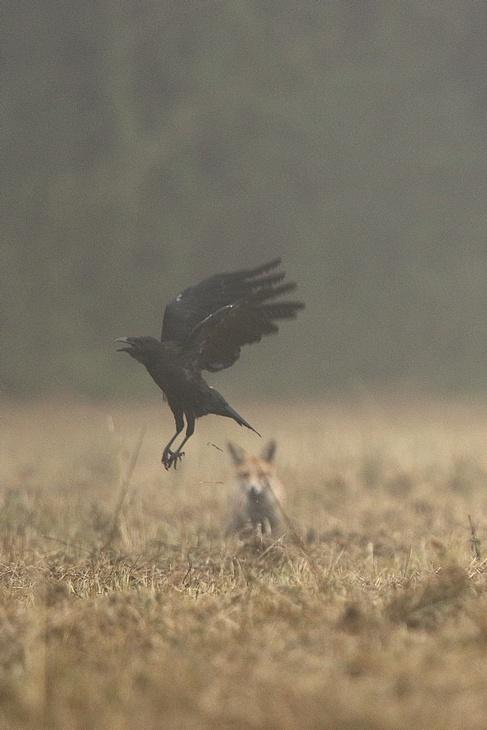 Le corbeau et le renard 18090504003717878015878745