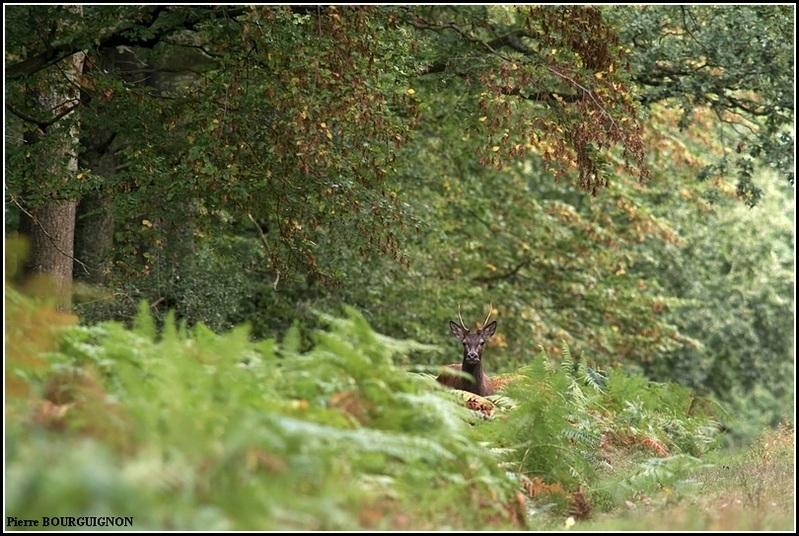 Cerf élaphe par Pierre BOURGUIGNON, photographe animalier / Belgique