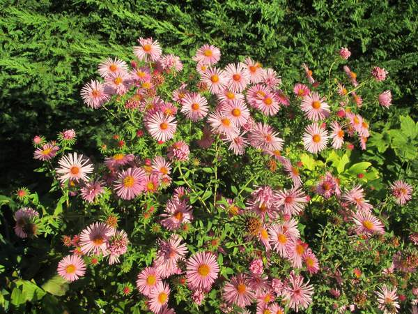 asters roses