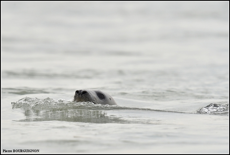 Phoque gris (Halichoerus grypus) par Pierre BOURGUIGNON, Photographe animalier, Belgique