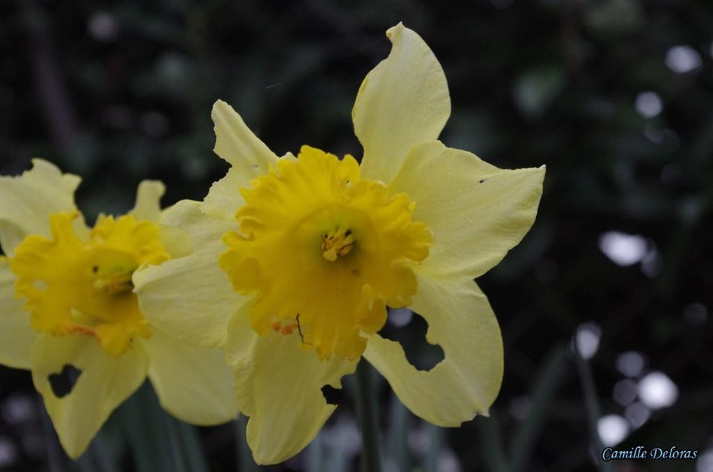 Fleurs toulousaines avril 2018 18103104360224303715972804