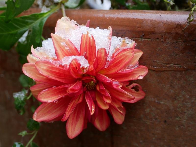 dernières fleurs sous la neige  18112009383622650016004645
