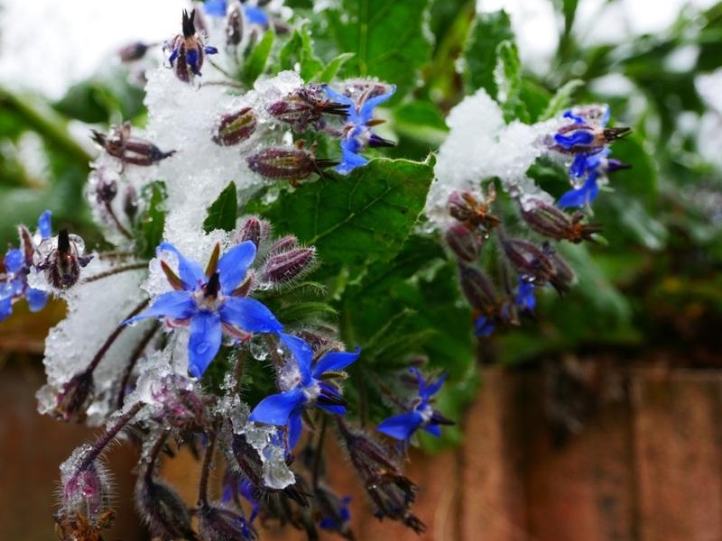 dernières fleurs sous la neige  18112009383822650016004646