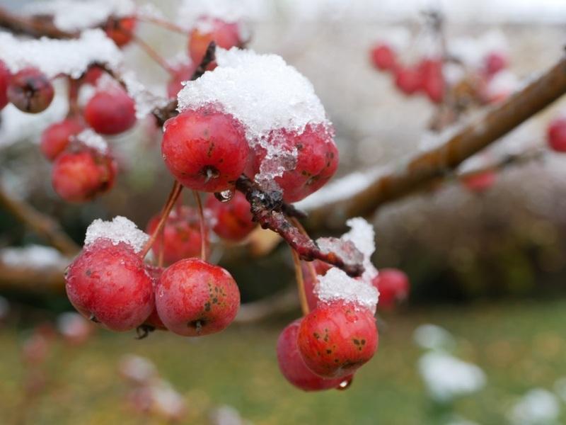 dernières fleurs sous la neige  18112009383822650016004647