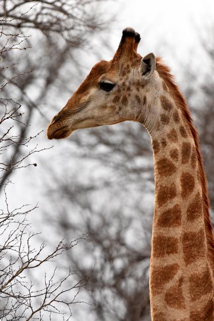Girafe 20181023 Phalaborwa (4)ACSUM