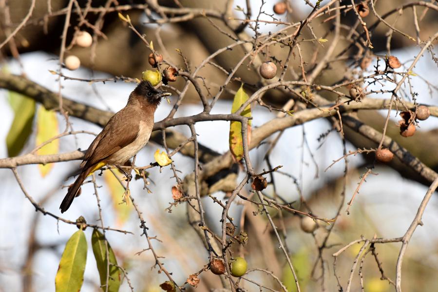 Bulbul des jardins 20181024 Phalaborwa (1)AMACSUM