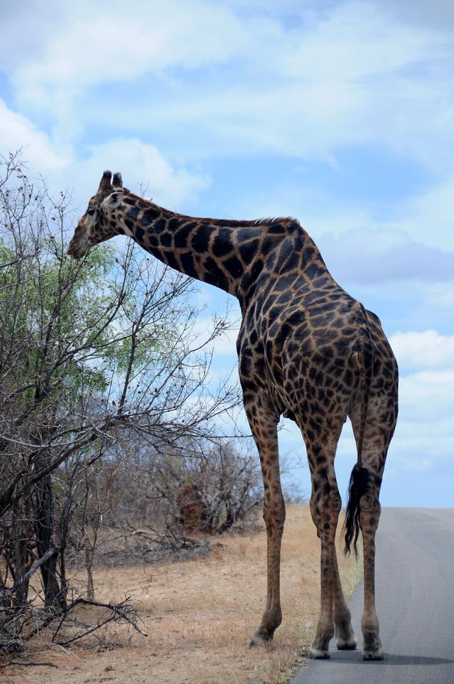 Girafe 20181024 Phal-Let (2)ACSUM