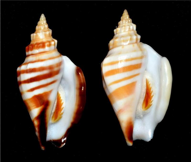 Strombidae Ministrombus variabilis athenia (Duclos, 1844) 18120306094214587716023085