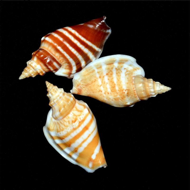 Strombidae Ministrombus variabilis athenia (Duclos, 1844) 18120306094314587716023086