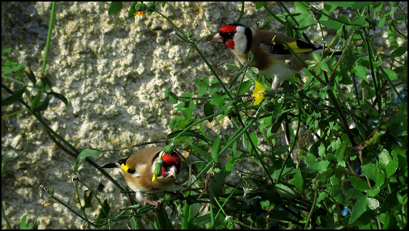 Forum oiseaux de la nature et sauvages: Nos p'tits copains à plume - Portail 19010510515723550116065948