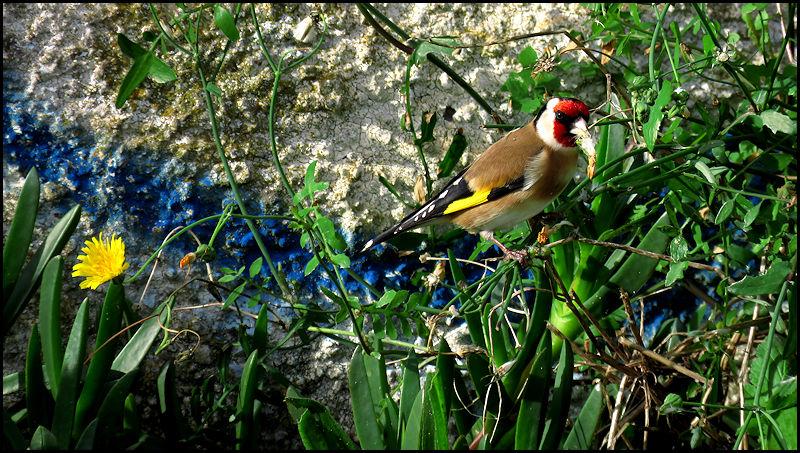Forum oiseaux de la nature et sauvages: Nos p'tits copains à plume - Portail 19010510515723550116065949