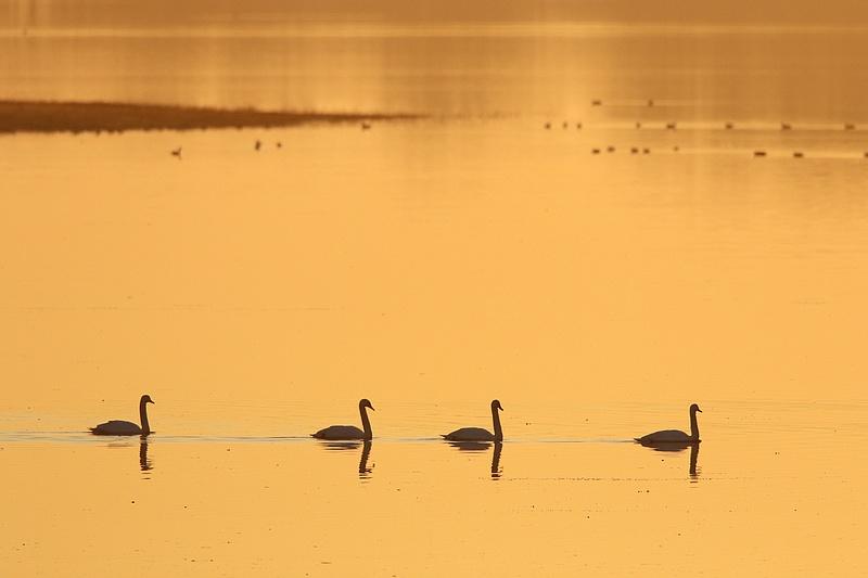 Ce matin au lac du Der 19021612014917878016121990