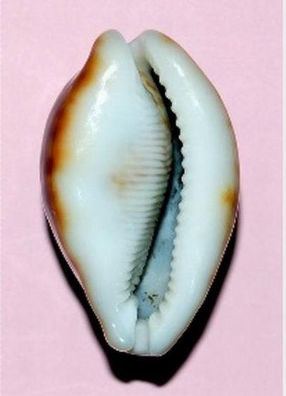 Cypraea pantherina f. funebralis - (Sulliotti, 1924)  19031304365314587716157296