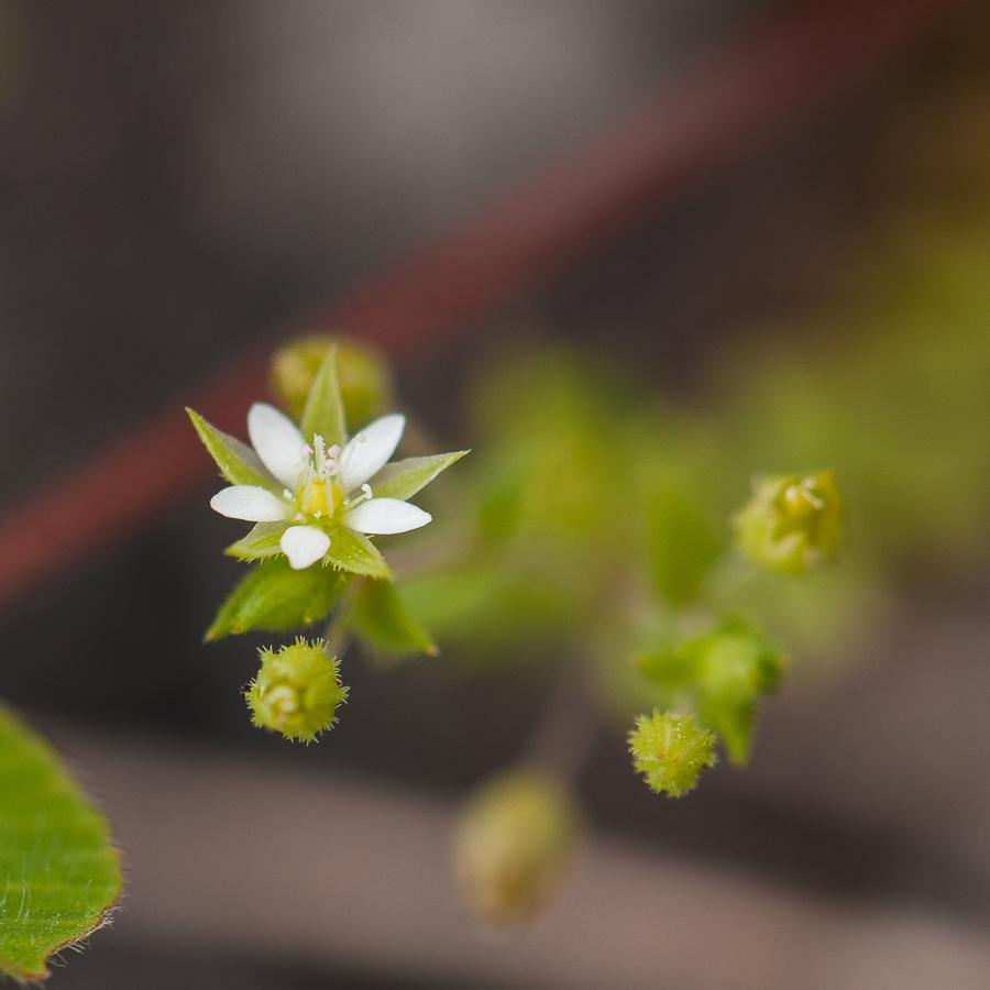 Arenaria serpyllifolia? 1903140638103187616159303