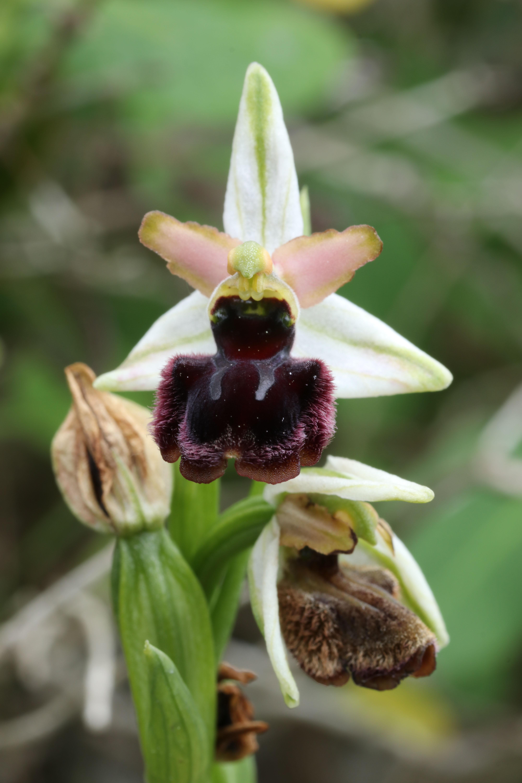 Ophrys panormitana var praecox (Ophrys précoce ) 19042507380624766516212409