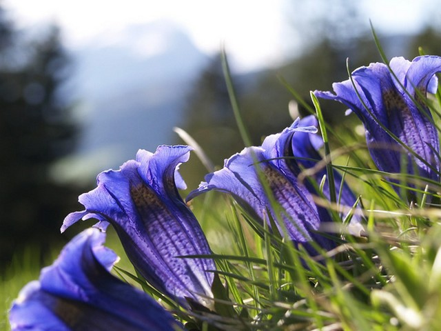 La Gentiane, fleur de nos montagnes 1905230711041858216248950