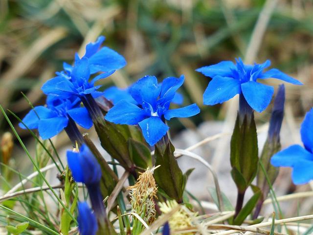 La Gentiane, fleur de nos montagnes 1905230711051858216248951