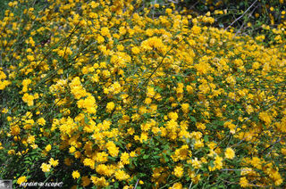 fleurs jaune etoilée