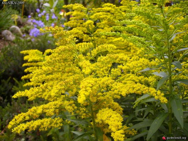 fleur jaune fanfan